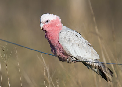 MMPI_20200819_MMPI0064_0007 - Galah (Eolophus roseicapilla) (male) perching on a wire fence.