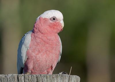 MMPI_20200819_MMPI0064_0003 - Galah (Eolophus roseicapilla) (male) perching on a rustic fencepost.