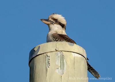 MMPI_20200819_MMPI0064_0001 - Laughing Kookaburra (Dacelo novaeguineae) perching atop a telephone pole.