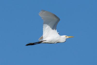 MMPI_20200819_MMPI0064_0019 - Intermediate Egret (Egretta intermedia) in flight.