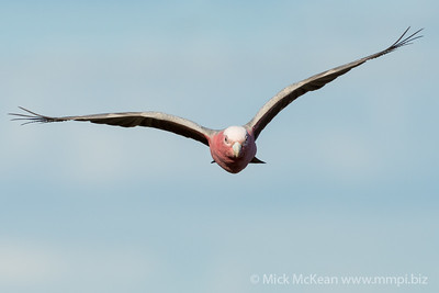 MMPI_20200819_MMPI0064_0010 - Galah (Eolophus roseicapilla) (male) in flight heading straight at the camera.