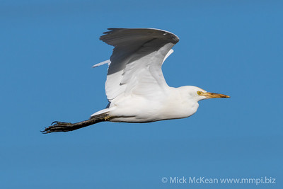 MMPI_20200819_MMPI0064_0013 - Intermediate Egret (Egretta intermedia) in flight.