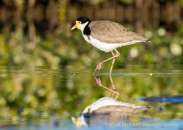MMPI_20200823_MMPI0064_0007 - Masked Lapwing (Vanellus miles) wading on a reflective lagoon in morning golden light.