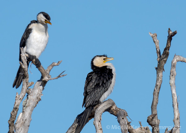 MMPI_20200823_MMPI0064_0019 - Little Pied Cormorant (Microcarbo melanoleucos) pair perching on a gnarled dead tree..