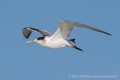 MMPI_20200829_MMPI0064_0014 - Greater Crested Tern (Thalasseus bergii) in flight.
