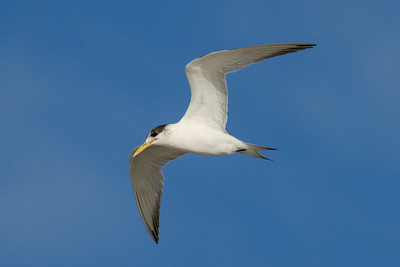 MMPI_20200829_MMPI0064_0019 - Greater Crested Tern (Thalasseus bergii) in flight.