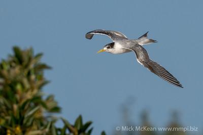 MMPI_20200829_MMPI0064_0016 - Greater Crested Tern (Thalasseus bergii) in flight.