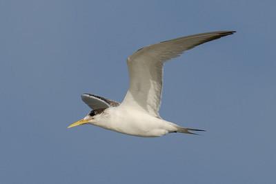 MMPI_20200829_MMPI0064_0018 - Greater Crested Tern (Thalasseus bergii) in flight.