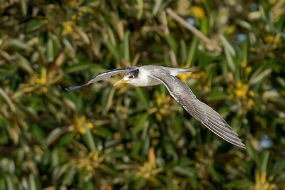 MMPI_20200829_MMPI0064_0017 - Greater Crested Tern (Thalasseus bergii) in flight.