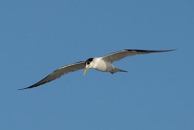 MMPI_20200829_MMPI0064_0020 - Greater Crested Tern (Thalasseus bergii) in flight.