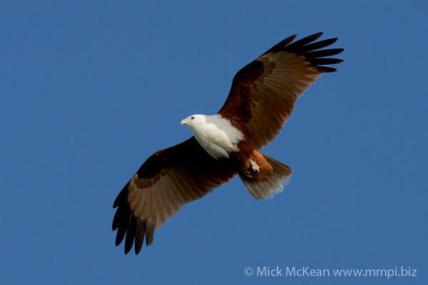 MMPI_20200911_MMPI0067_0010 - Brahminy Kite (Haliastur indus) in flight.