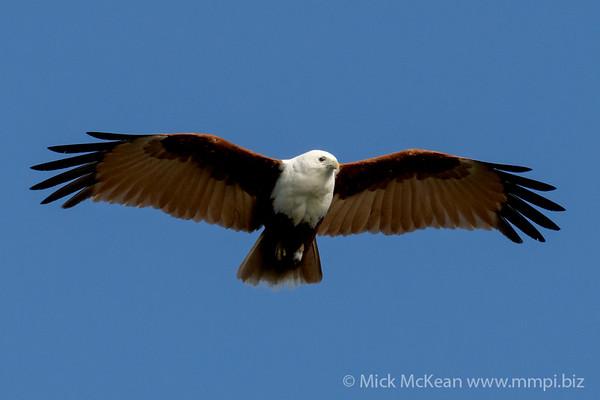 MMPI_20200911_MMPI0067_0009 - Brahminy Kite (Haliastur indus) in flight.