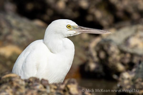MMPI_20200910_MMPI0067_0043 - Pacific Reef Heron (Egretta sacra) (light morph) standing in a rock pool.