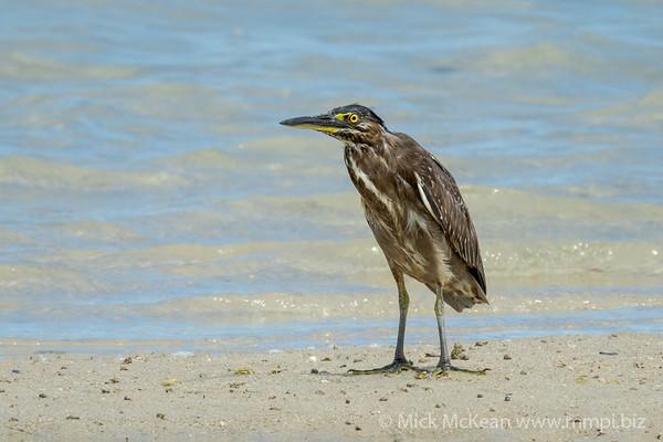 MMPI_20200911_MMPI0067_0024 - Striated Heron (Butorides striata) (immature) standing on the shoreline.