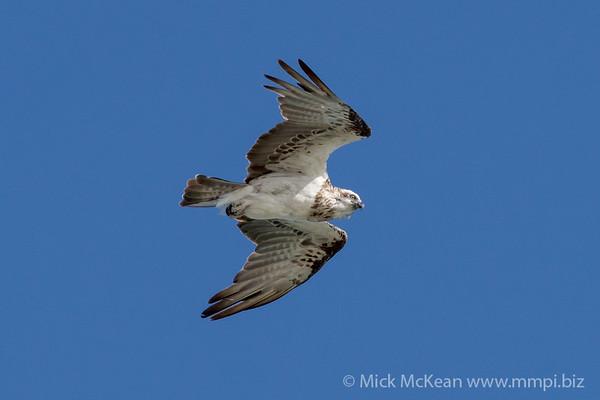 MMPI_20200909_MMPI0067_0054 - Eastern Osprey (Pandion cristatus) in flight.