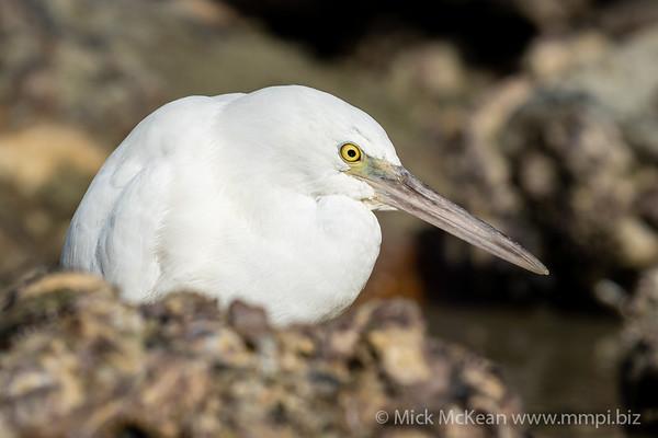 MMPI_20200910_MMPI0067_0042 - Pacific Reef Heron (Egretta sacra) (light morph) portrait in a rock pool.