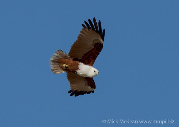 MMPI_20200909_MMPI0067_0027 - Brahminy Kite (Haliastur indus) in flight.