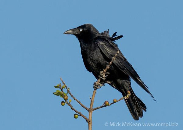 MMPI_20200910_MMPI0067_0071 - Torresian Crow (Corvus orru) (immature) perching atop a tree branch.