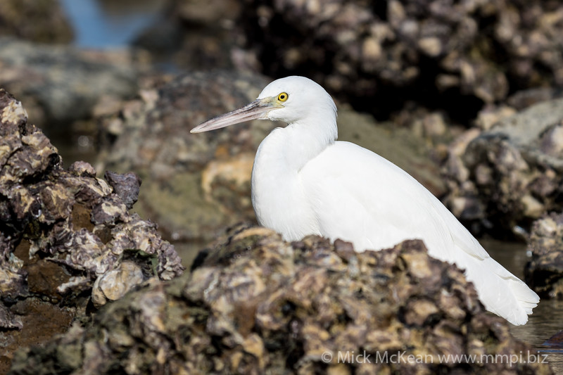 MMPI_20200910_MMPI0067_0041 - Pacific Reef Heron (Egretta sacra) (light morph) standing in a rock pool.
