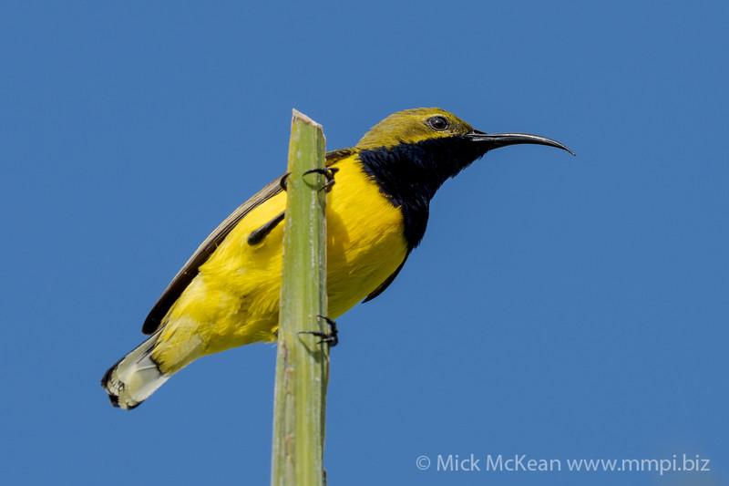 MMPI_20200912_MMPI0067_0010 - Olive-backed Sunbird (Cinnyris jugularis) (male) perching atop a palm tree frond.