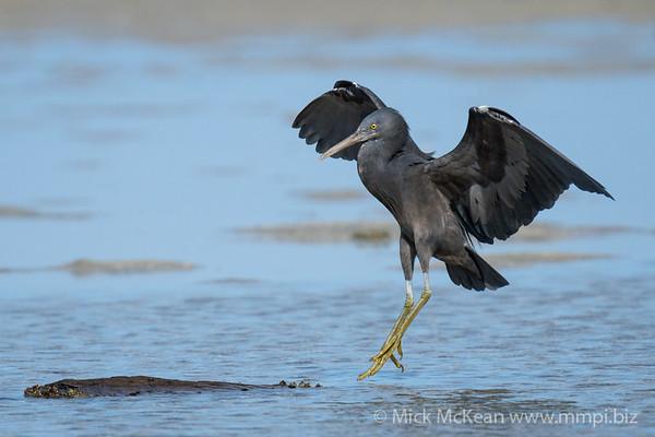 MMPI_20200910_MMPI0067_0046 - Pacific Reef Heron (Egretta sacra) (dark morph) landing on the sandflats.