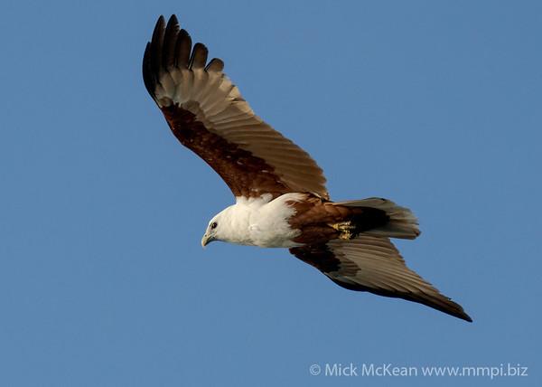 MMPI_20200911_MMPI0067_0012 - Brahminy Kite (Haliastur indus) in flight.