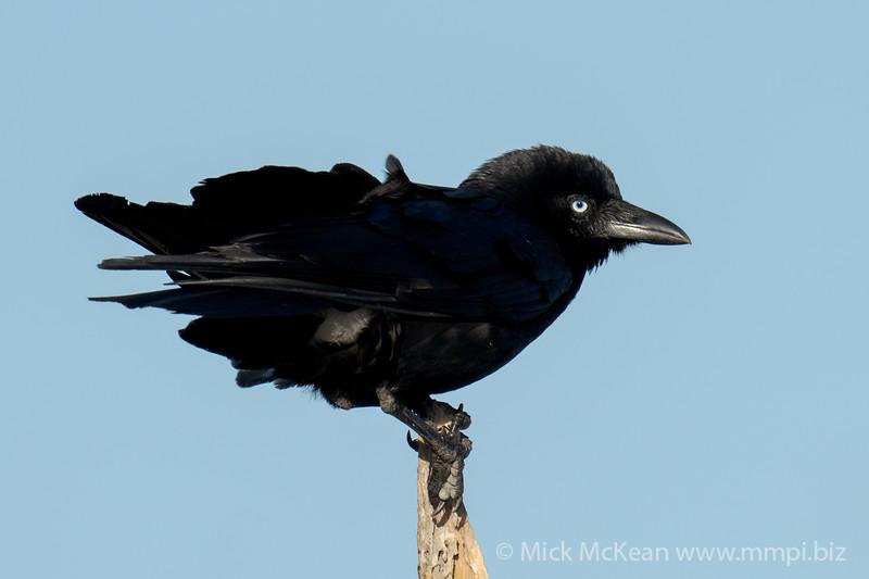 MMPI_20200910_MMPI0067_0067 - Torresian Crow (Corvus orru) .