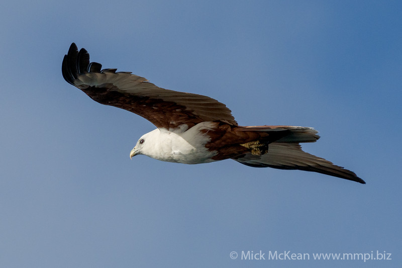 MMPI_20200911_MMPI0067_0011 - Brahminy Kite (Haliastur indus) in flight.