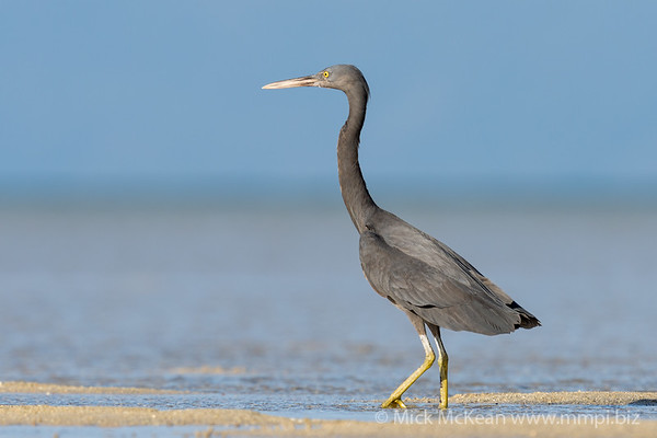 MMPI_20200910_MMPI0067_0004 - Pacific Reef Heron (Egretta sacra) (dark morph) standing on the sandflats.
