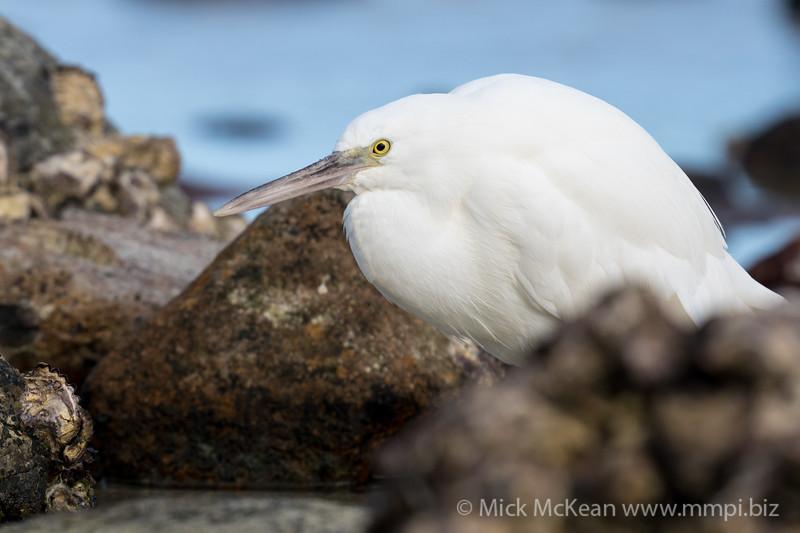 MMPI_20200910_MMPI0067_0036 - Pacific Reef Heron (Egretta sacra) (light morph) standing in a rock pool.