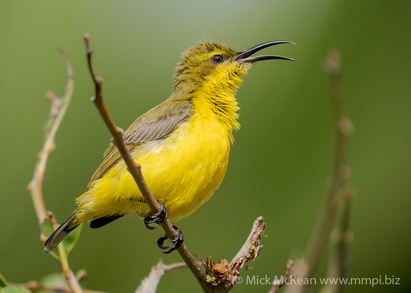 MMPI_20200912_MMPI0067_0007 - Olive-backed Sunbird (Cinnyris jugularis) (female) calling from a shrub branch.