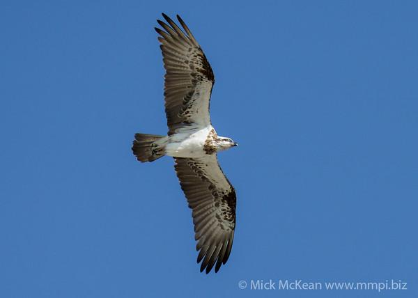 MMPI_20200909_MMPI0067_0049 - Eastern Osprey (Pandion cristatus) in flight.