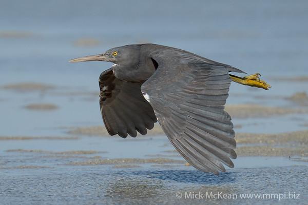 MMPI_20200910_MMPI0067_0051 - Pacific Reef Heron (Egretta sacra) (dark morph) in flight low over the sandflats.