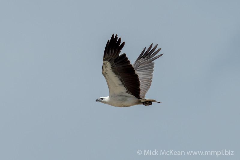 MMPI_20200911_MMPI0067_0023 - White-bellied Sea Eagle (Haliaeetus leucogaster) in flight.