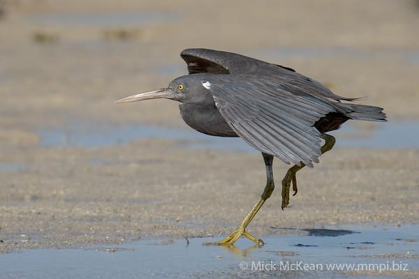 MMPI_20200910_MMPI0067_0053 - Pacific Reef Heron (Egretta sacra) (dark morph) landing on the sandflats.