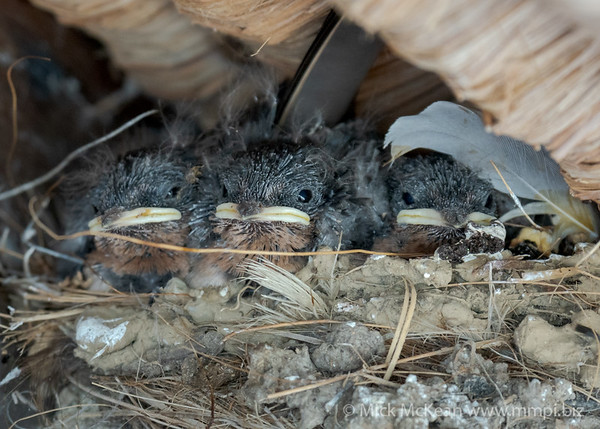MMPI_20200911_MMPI0067_0025 - Welcome Swallow (Hirundo neoxena) trio of nestlings on the nest.