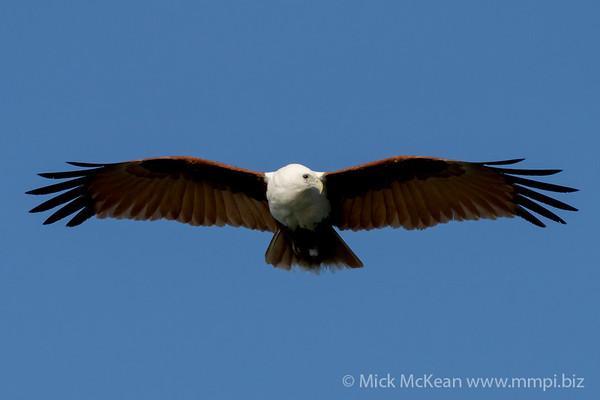 MMPI_20200911_MMPI0067_0008 - Brahminy Kite (Haliastur indus) in flight.