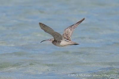 MMPI_20200911_MMPI0067_0019 - Whimbrel (Numenius phaeopus) in flight above the ocean.