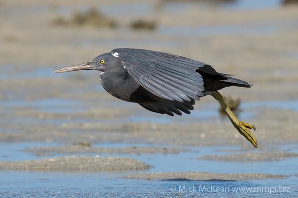 MMPI_20200910_MMPI0067_0052 - Pacific Reef Heron (Egretta sacra) (dark morph) landing on the sandflats.