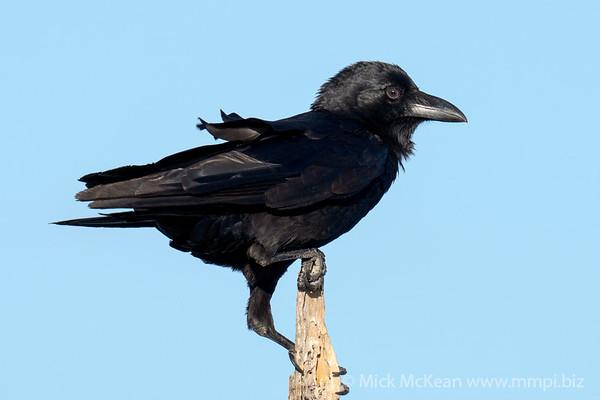 MMPI_20200910_MMPI0067_0069 - Torresian Crow (Corvus orru) (immature) perching atop a broken tree branch.