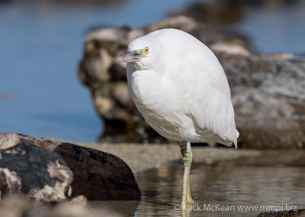 MMPI_20200910_MMPI0067_0037 - Pacific Reef Heron (Egretta sacra) (light morph) standing in a rock pool.