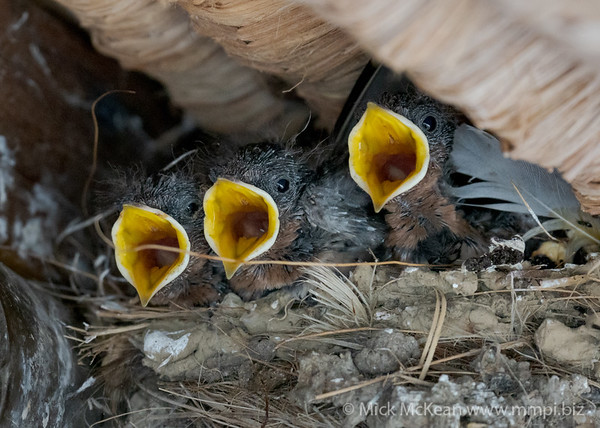 MMPI_20200911_MMPI0067_0026 - Welcome Swallow (Hirundo neoxena) trio of nestlings with mouths agape begging for food as a parent approaches the nest.