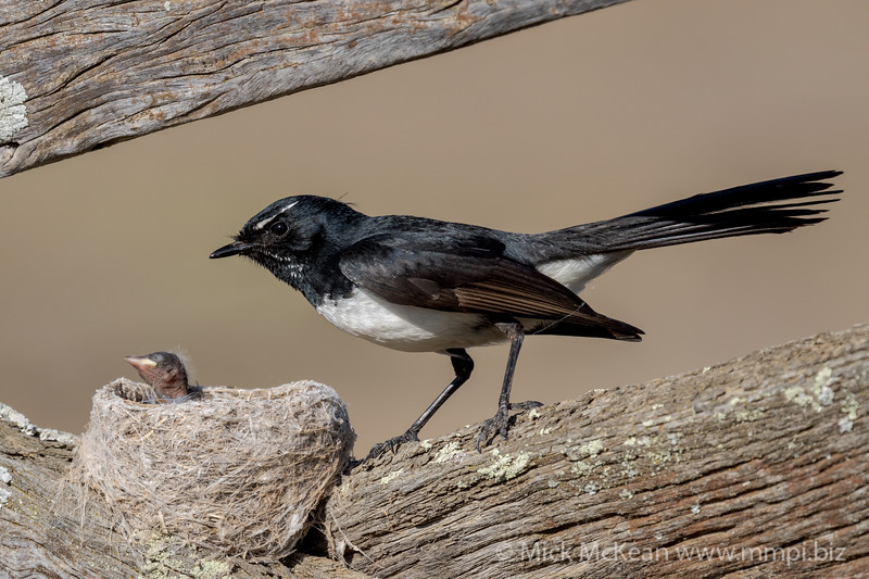 MMPI_20201001_MMPI0064_0007 - Willie Wagtail (Rhipidura leucophrys) standing next to its nest with a nestling poking its head out.