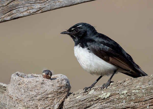 MMPI_20201001_MMPI0064_0002 - Willie Wagtail (Rhipidura leucophrys) standing next to its nest with a nestling poking its head out.