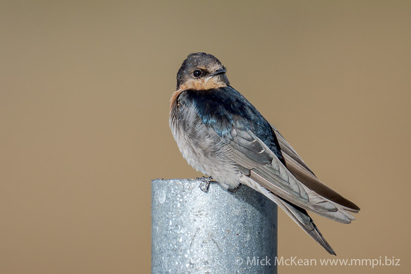 MMPI_20201001_MMPI0064_0014 - Welcome Swallow (Hirundo neoxena) perching on a metal pole.