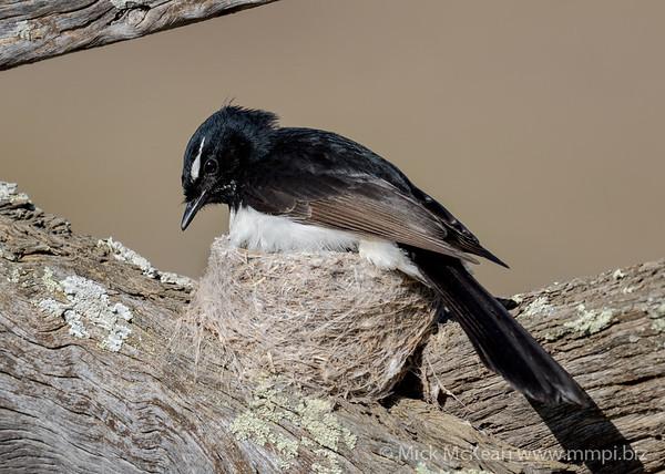 MMPI_20201001_MMPI0064_0003 - Willie Wagtail (Rhipidura leucophrys) sitting on its nest.
