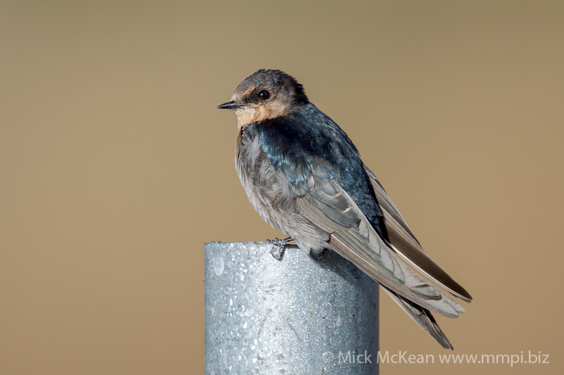 MMPI_20201001_MMPI0064_0013 - Welcome Swallow (Hirundo neoxena) perching on a metal pole.