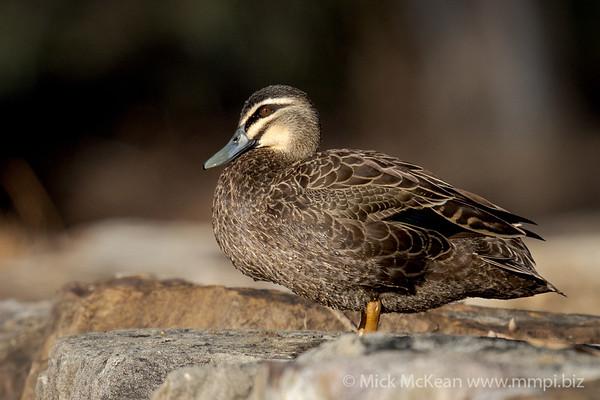 MMPI_20201001_MMPI0064_0019 - Pacific Black Duck (Anas superciliosa) .