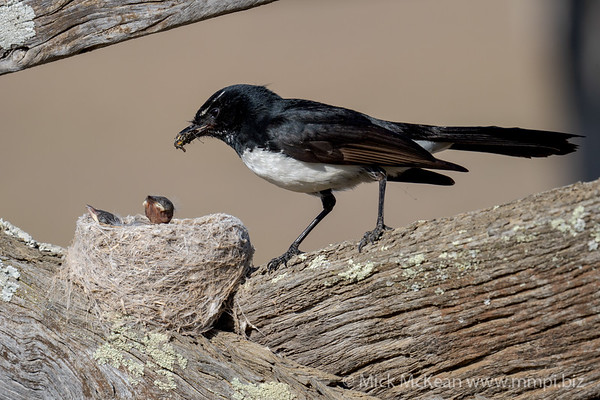 MMPI_20201001_MMPI0064_0010 - Willie Wagtail (Rhipidura leucophrys) about to feed one of its nestlings a large insect.