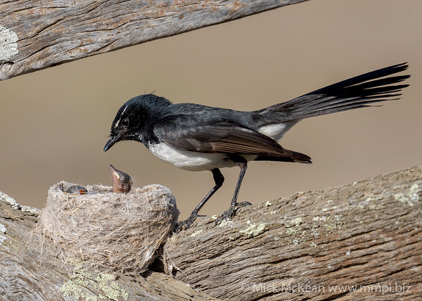 MMPI_20201001_MMPI0064_0005 - Willie Wagtail (Rhipidura leucophrys) about to feed one of its nestlings.